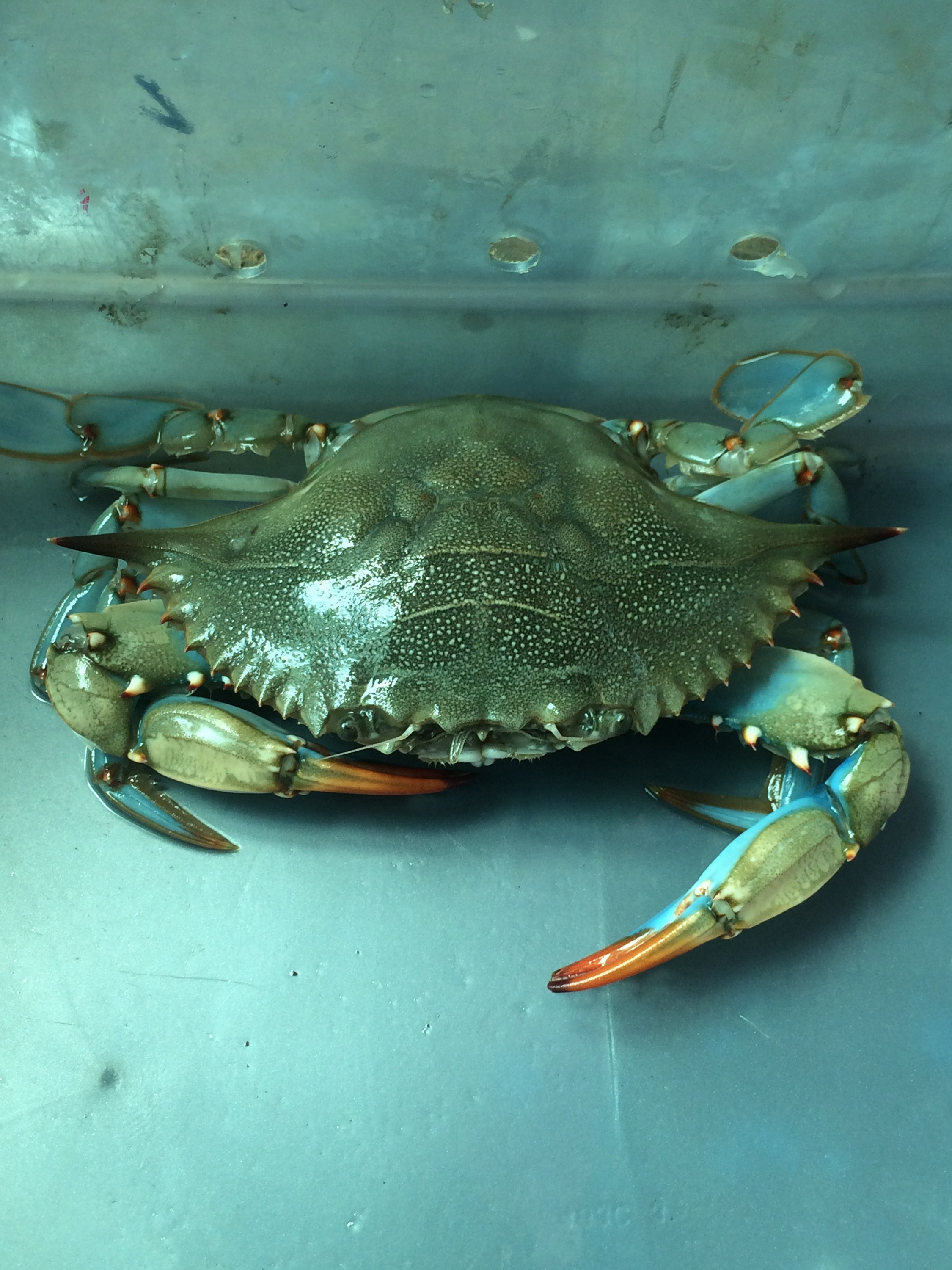 Blue crab in tank