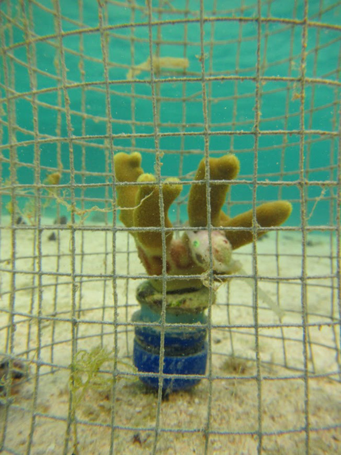 Coral caged with snails to measure feeding impact2