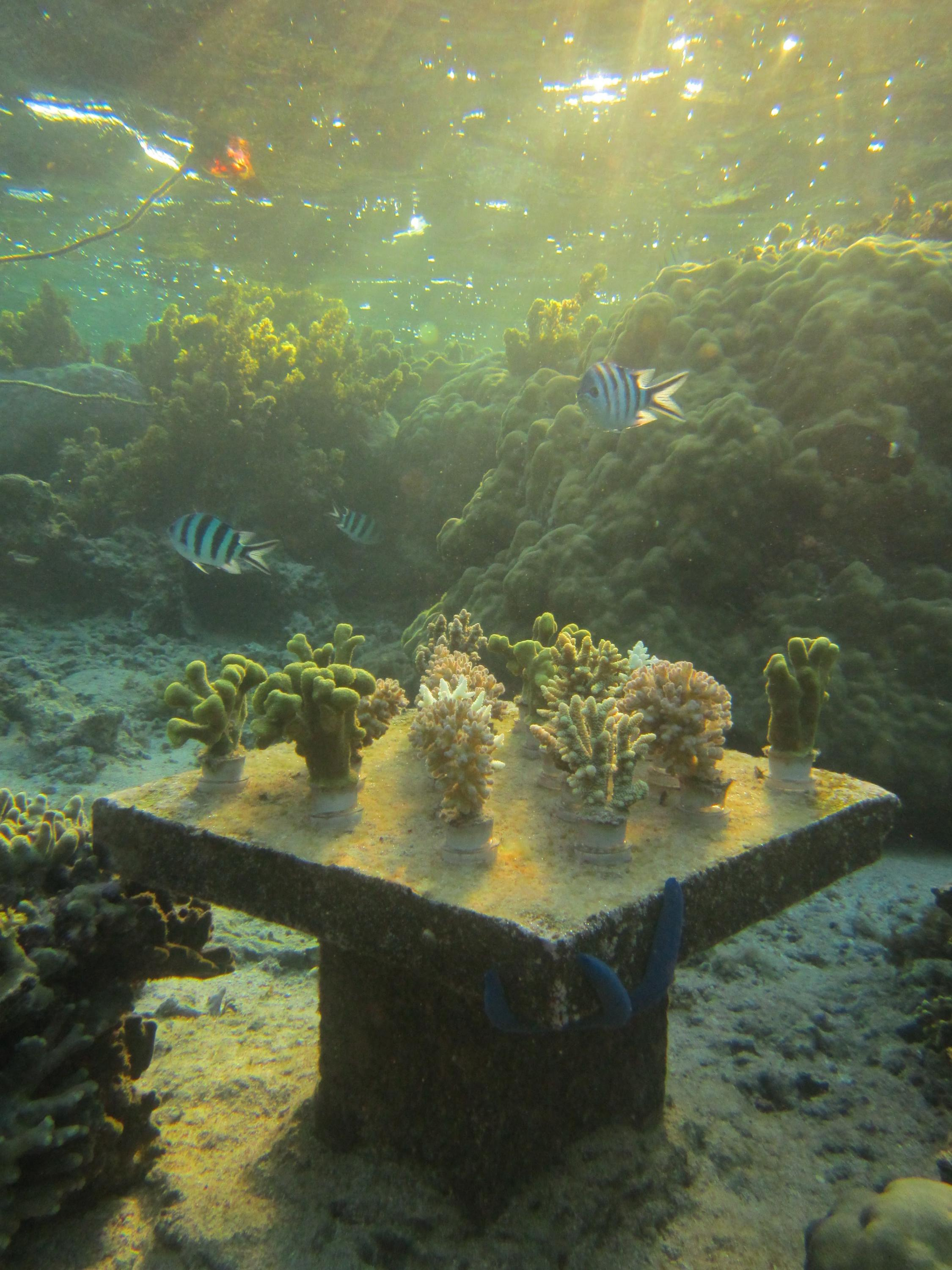 Fiji coral experiment biodiverse table