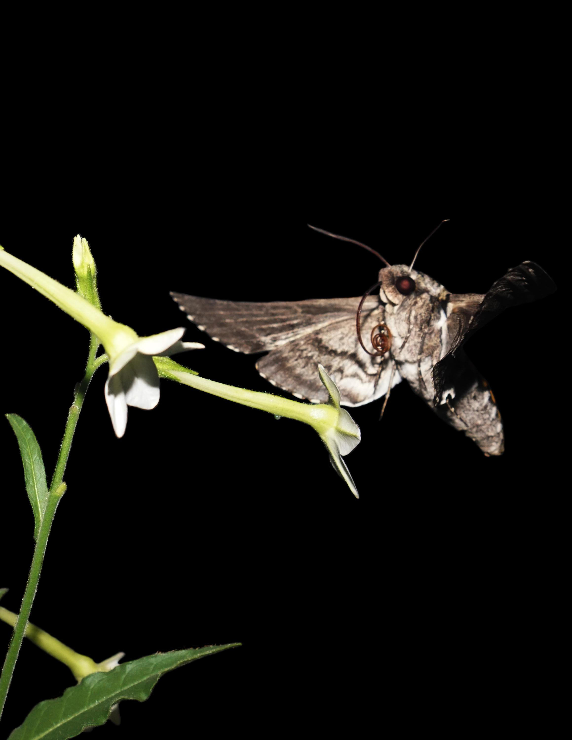 Video: Flight of the hawk moth