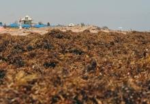 Beached Sargassum