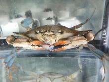 Blue crab and mud crabs - horizontal