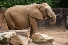 Elephant at Zoo Atlanta