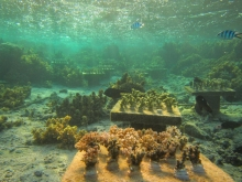 Fiji coral biological variety experiment