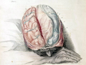 """Charles Bell Anatomy of the Brain, c. 1802"" (Wikimedia Commons, Shaheen Lakhan)"